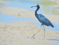 Little Blue Heron At The Lemon...