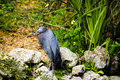 Little blue heron a standing by flowers Royalty Free Stock Photo