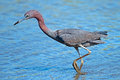 Little blue heron standing in the marsh Royalty Free Stock Images