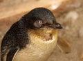 Little Blue Penguin Portrait