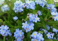 Little blue spring flowers of forget-me-not Royalty Free Stock Photo