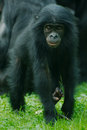 Little Bonobo monkey Royalty Free Stock Photography