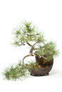 Little bonsai tree on light background Stock Photos