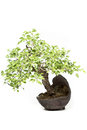 Little bonsai tree on light background Royalty Free Stock Image