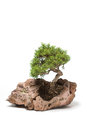 Little bonsai tree on light background Royalty Free Stock Photos
