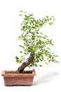 Little bonsai tree on light background Stock Photography