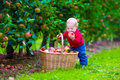 Little boy with apple basket on a farm