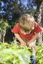Little boy examining leaves undergrowth in vegetable garden Royalty Free Stock Image