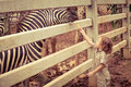 Little boy feeding a giraffe at the zoo Royalty Free Stock Photo