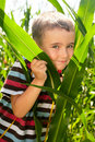 Little boy hide in corn Stock Photography