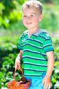 Little boy picking strawberries happy in the garden Royalty Free Stock Photography