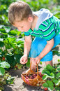 Little boy picking strawberries harvesting fresh from the garden Royalty Free Stock Photos