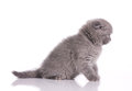 Little  british  grey kitten Stock Images