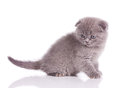 Little  british kitten Royalty Free Stock Images