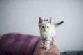 Little British kitten Royalty Free Stock Photo
