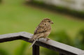 Little brown bird sitting on railing against green background Stock Photos