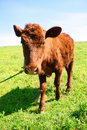 Little brown cow Royalty Free Stock Photo