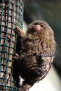 Little brown monkey Royalty Free Stock Photo