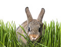 Little brown rabbit in spring grass Royalty Free Stock Photo