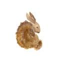 Little brown rabbit