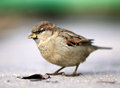Little brown sparrow on the ground Royalty Free Stock Photo