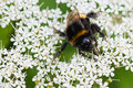 Little Bumble bee busy gathering nectar in summer Stock Image