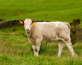 The little calf grazing in meadow Royalty Free Stock Photography