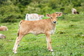Little calf in green grass. Royalty Free Stock Photo