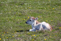 Little calf lying on pasture Royalty Free Stock Photo
