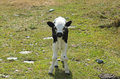 Little calf in the meadow Royalty Free Stock Photo