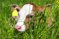 Little Calf Royalty Free Stock Photo