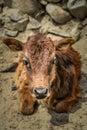 Little calf Royalty Free Stock Photo