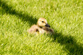 Little canada goose gosling in shade a resting green grass the shadow of a lamp post Stock Image