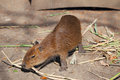 Little capybara and very serious in safari park krasnodar russia Royalty Free Stock Photos