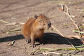 Little capybara and very serious in safari park krasnodar russia Stock Images