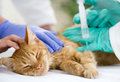 Little cat on the table veterrinary giving vaccine veterinary to Royalty Free Stock Photography