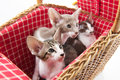 Little cats hiding in picnic basket wicker Royalty Free Stock Photos