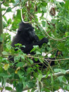 Little celebes crested black macaque feeding in tree intangkoko national park in the minahasa in north sulawesi indonesia Stock Image