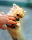 Little charming adorable chihuahua puppy on blurred background. Attacking a persons hand. Eye contact. Royalty Free Stock Photo