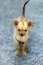 Little charming adorable chihuahua puppy on blurred background. Eye contact. Royalty Free Stock Photo