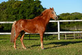 Little chestnut pony on paddock full body profile of a cute old standing content a a farm Royalty Free Stock Photos