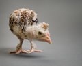 Little chick one adolescent comose stand on grey background close up look on camera Stock Photography