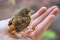 Little chick robin redbreast sitting Royalty Free Stock Photo