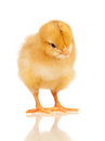 Little chicken Royalty Free Stock Photo