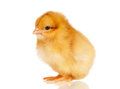 Little chicken cute isolated on white background Stock Photos