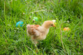 Little chicken on green meadow with colorful easter eggs Royalty Free Stock Photo
