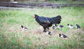 little chicken walking with hen Royalty Free Stock Photo