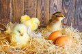 Little chickens in a nest with eggs Royalty Free Stock Image