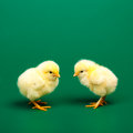 Little chicknen green background Stock Photos
