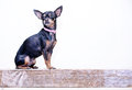 Little chihuahua a dog breed portrait Stock Images